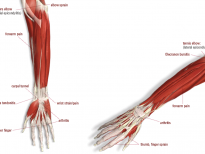 anatomy-of-elbow-wrist-and-hand-angola-physical-therapy-forearm-3270-intertech
